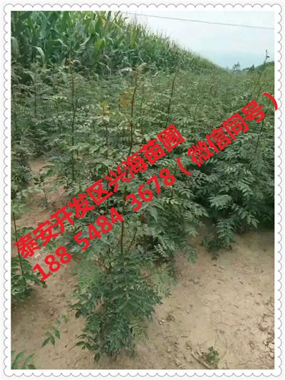 内蒙古包头哪里可以买到仓方早生桃树苗《新闻