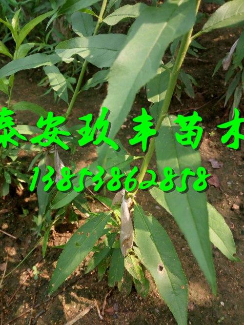 河南许昌十月红桃树苗2018行情