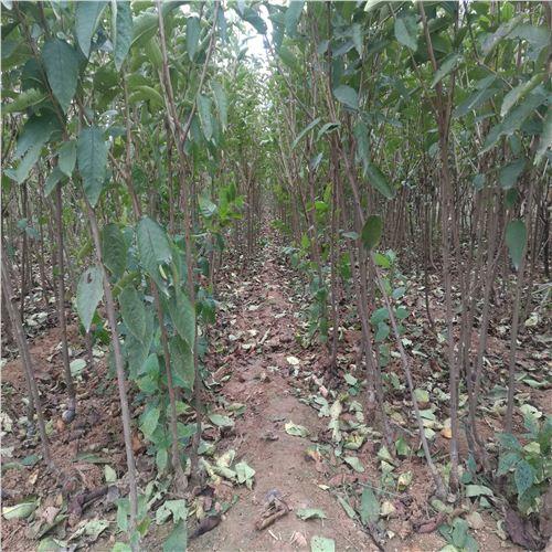 疏除冠内过密强旺枝和紊乱树冠多年生大枝,树体结构,冠内风光条件