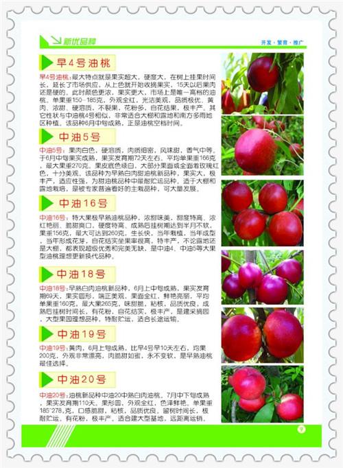 浙江温州1年生北斗苹果树苗