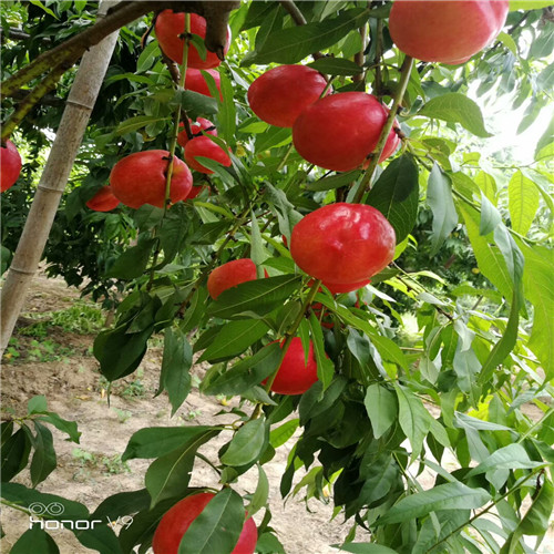 一颗桃树的图片手绘