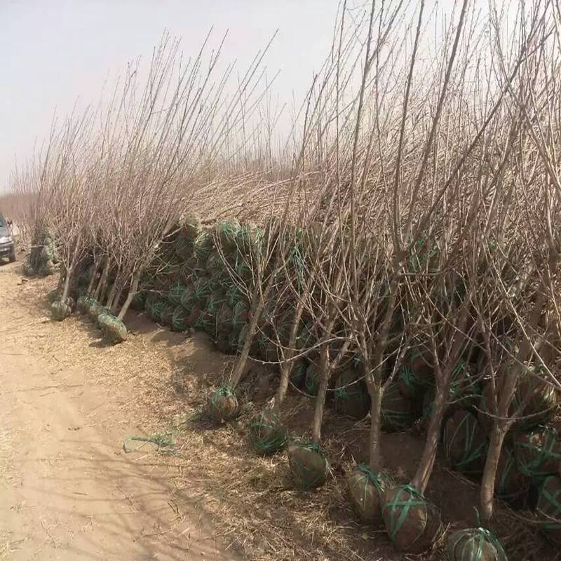 怎样快速繁殖樱桃苗木?