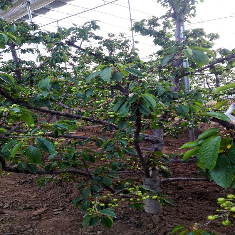 黑珍珠樱桃苗品种介绍陇南