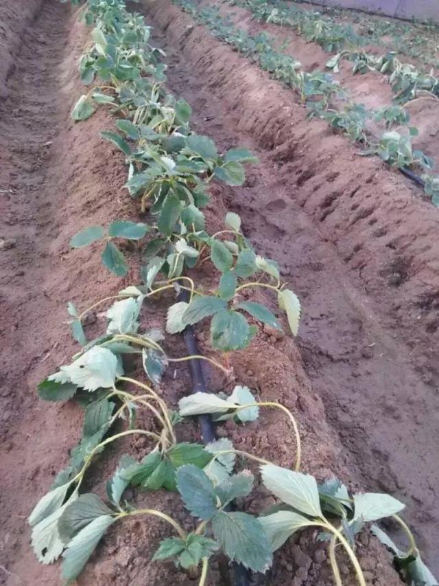 苏州市什么时间种草莓苗成活好推荐咨询