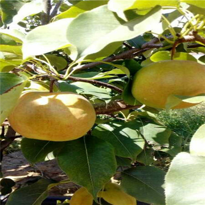 梨果实石细胞手绘图片