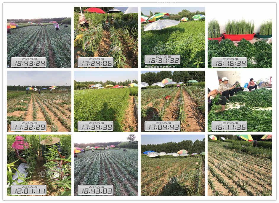 黄蟠桃品种介绍八月份成熟桃子品种大全