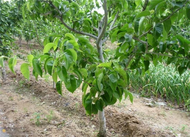 红香酥梨树苗大量出售(乌鲁木齐梨树苗什么地方有货)