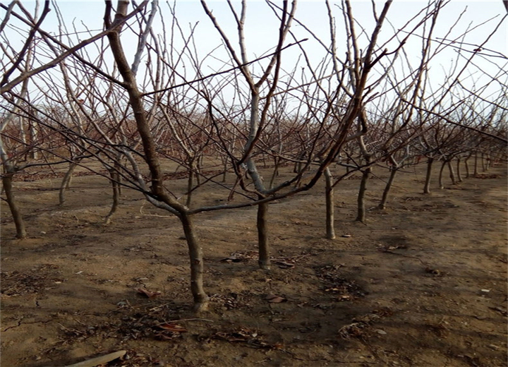 1公分梨树苗签订合同(山东聊城梨树苗种植基地)