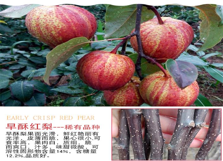 苹果梨树苗基地位置(和田地区梨树苗一棵多少钱)