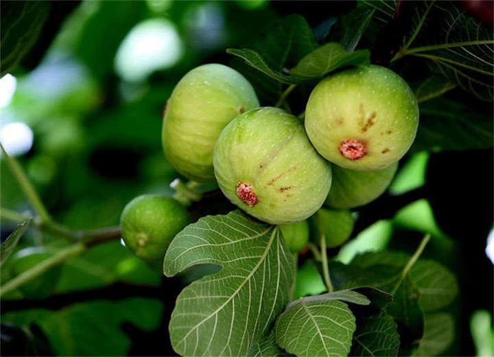 金傲芬无花果树苗种植基地(浙江宁波这里售卖)