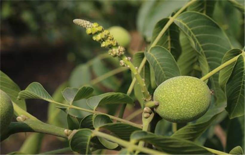 安徽六安卖的8518核桃树苗基地位置