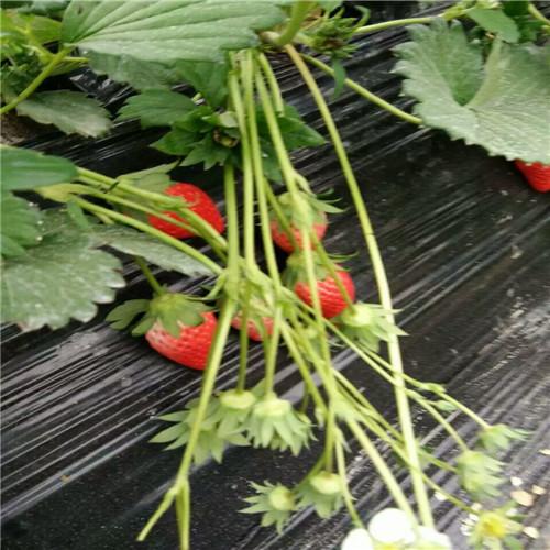 白果草莓苗,林芝哪里有白果草莓苗