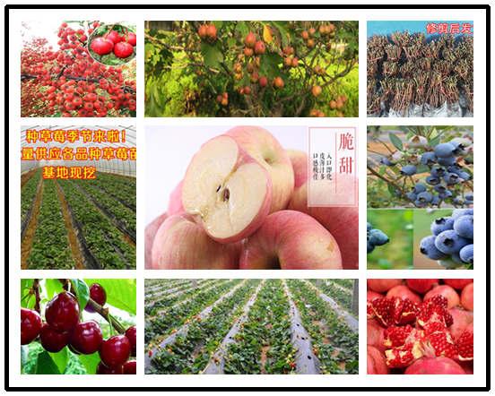 草莓苗基地位置-广东江门草莓苗多少钱卖