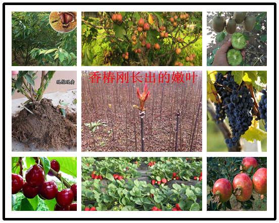 草莓苗基地位置-安徽池州草莓苗多少钱卖