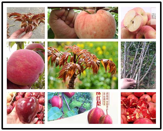 猕猴桃树苗基地位置-四川雅安猕猴桃树苗多少钱卖