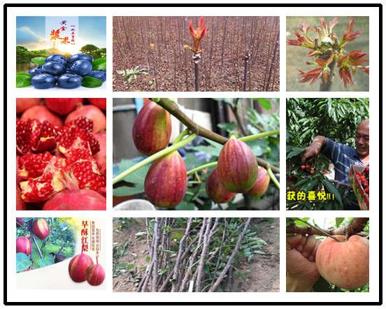 山楂树苗哪里出售-安徽滁州山楂树苗大量出售