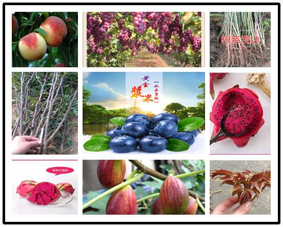 嫁接用果树实生苗基地位置-广东广州嫁接用果树实生苗多少钱一棵