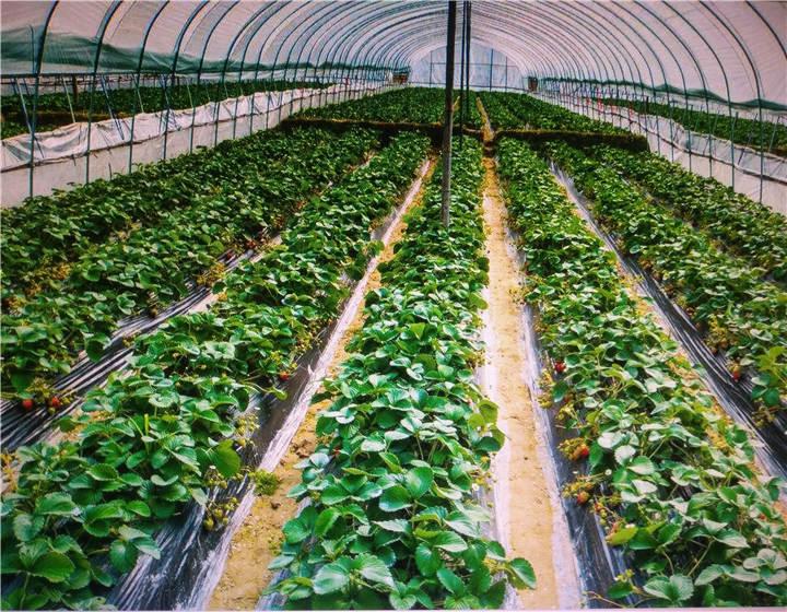 辽宁本溪草莓苗老板联系方式(丰香草莓秒批发市场)