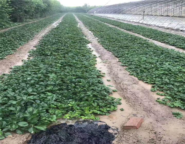 贵州黔南草莓苗基地位置(甜查理草莓苗合作苗木基地)