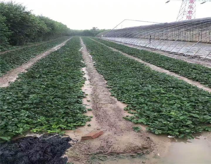 湖南永州草莓苗是怎么卖的(妙香7号草莓苗都是地里现挖)