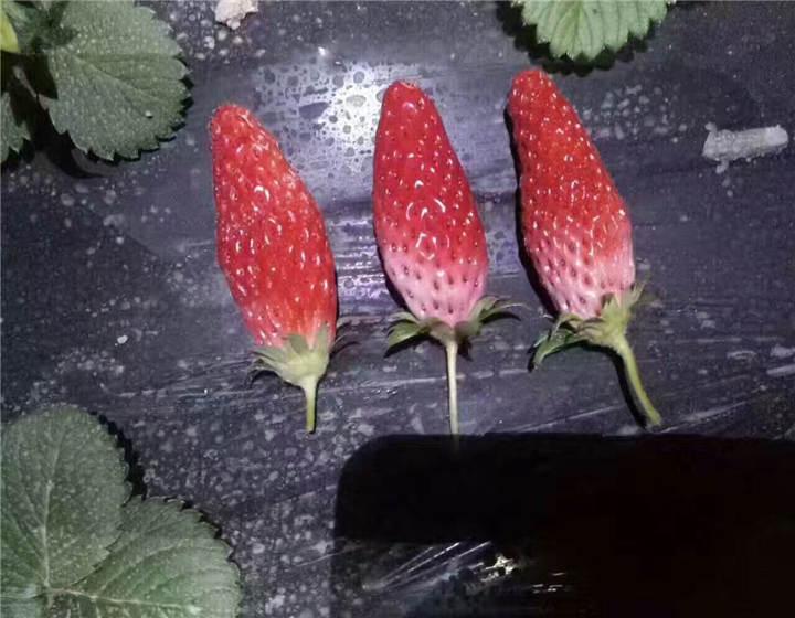 河北廊坊草莓苗都是什么样的价位(四季草莓苗批发基地)