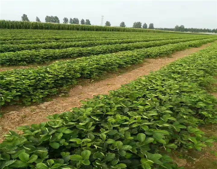 辽宁葫芦岛草莓苗价格(红颜99草莓苗这里来买)