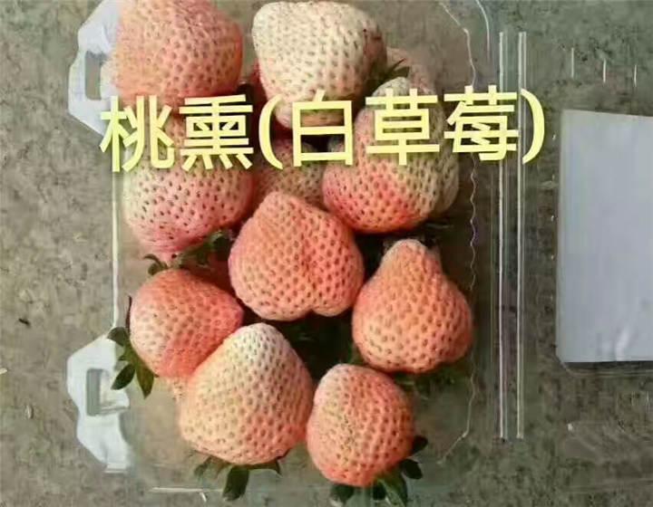 湖北武汉草莓苗什么价格(白草莓苗基地供应)