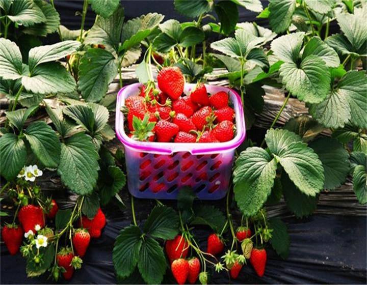 广东揭阳妙香草莓苗哪的好、价格优惠
