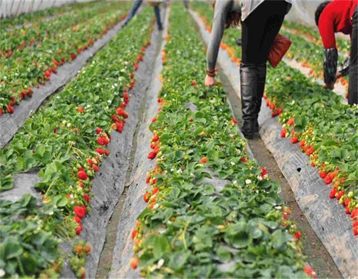 云南保山草莓苗批发报价(牛奶草莓苗提供技术支持)