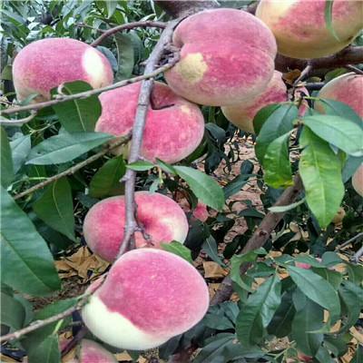总之,进入盛果期的树,在修剪上一定要注意回缩和甩放适度,做到回缩不旺,甩放不弱,利用徒长,更新复壮。这样培养出来的结果枝组才能结果多,质量好,达到长期稳产壮树的目的。 布鲁克斯:美国早熟品种,单果重8~10g,近圆形,果肉硬脆、甘甜,是早熟品种中口感理想的。  成熟期同小樱桃,比红灯早熟10天左右。果实横径达3cm以上,早果、丰产。填补国内极早熟、大果型品种的空白。 福 星:特大果型,中早熟新品种,大单果重18g,果实横径达3.