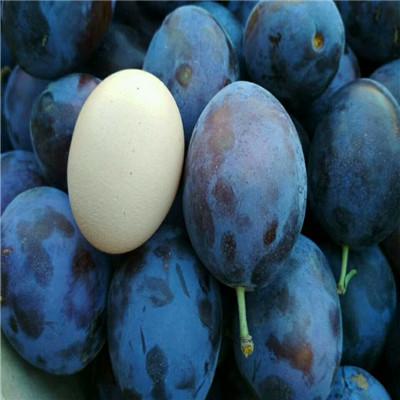 大总统:果实圆锥形,果面紫黑色,果肉黄色,单果重100克,质硬,甘甜多汁