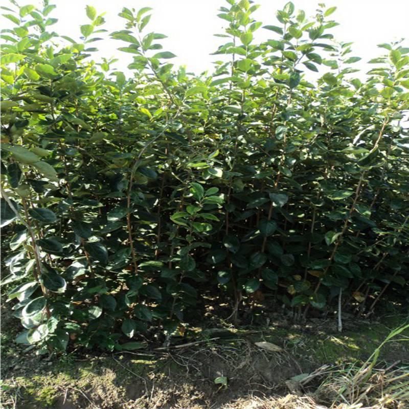 自产自销高产柿子苗一亩产量多少昭通