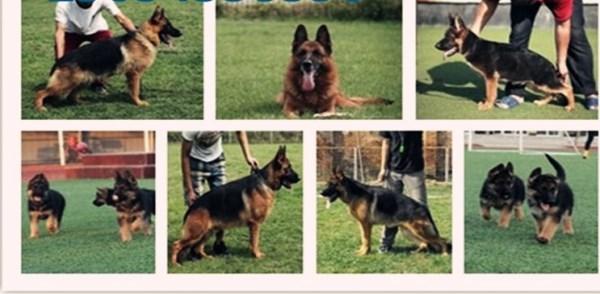 河池附近养狗场位置幼犬出售