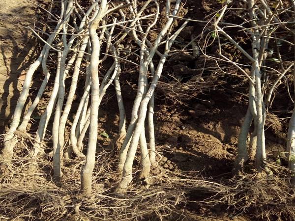 翌春育苗前,再耕翻一遍,耙平整细,作畦。三、砧苗繁育方法1、分株育苗大叶型草樱桃的根茎周围易产生大量根寨苗,生产中常通过分株繁殖将其作为大樱桃的砧木利用。其方法是:在春、夏季将根系周围长出的根蘖苗,培30厘米左右厚的土,使其生根,秋后或翌春发芽前把生根的萌蘖从植株上分离,集中定植或栽到苗圃地培养,以供嫁接大樱桃。  切削接芽时,在接芽以下1.