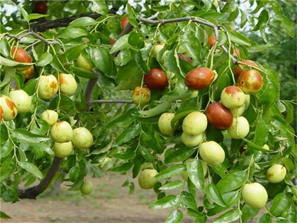 新品種棗樹苗經濟效益高棗_新品種棗樹苗