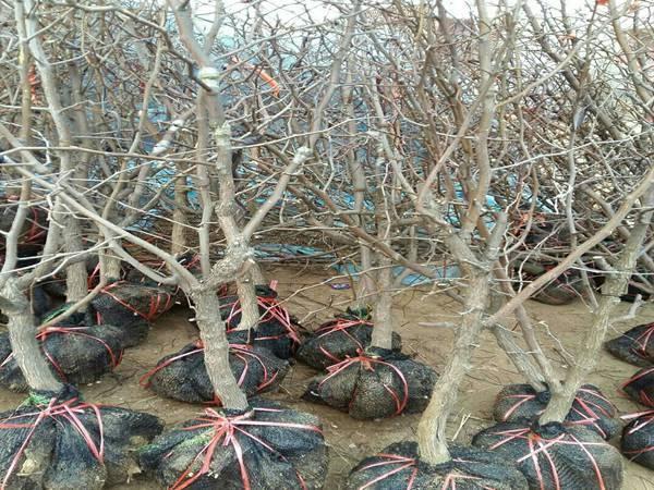怎样培育枣树优质大苗?