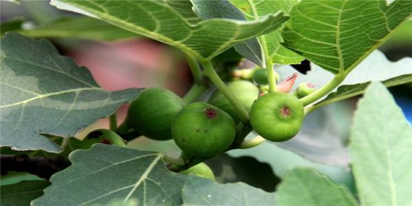 湖南益阳耐旱的无花果树苗价格