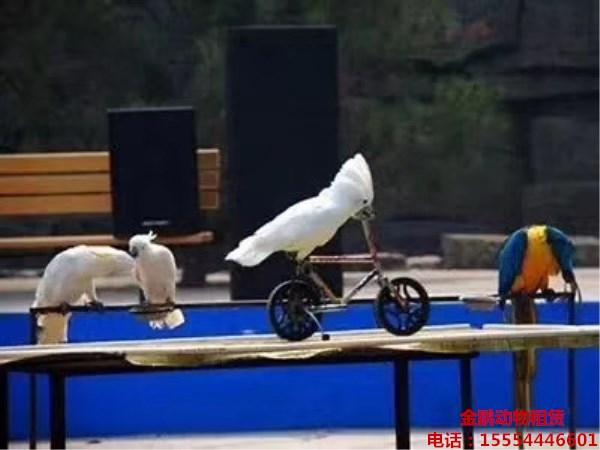 塞内加尔鹦鹉好繁殖吗 乌海鹦鹉百鸟展出租表演团