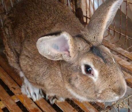 杂交野兔种兔_按更低成活率85%算)即:1只母兔×8×8×85%=55只;     2,养殖杂交野兔
