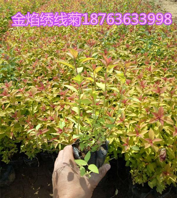 青州蔷薇培育公司