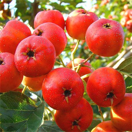 新闻江西赣州法兰地草莓苗一亩地栽多少