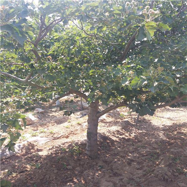 山东山楂树苗,山楂树一亩地产量多少,二年山楂