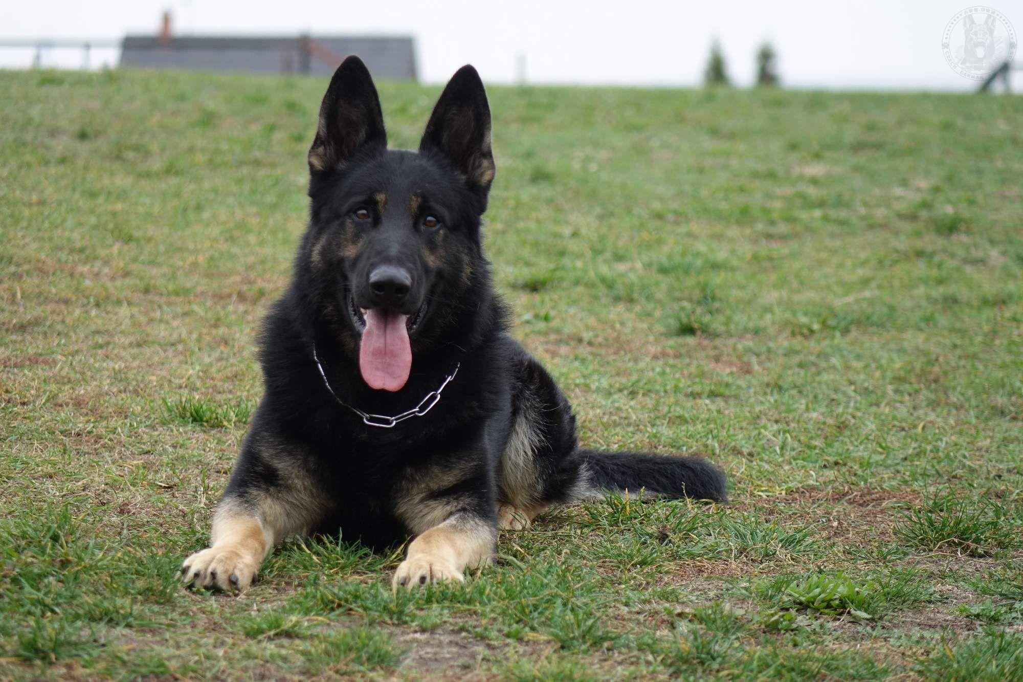 黑山县罗威纳犬多少钱一只-罗威纳犬