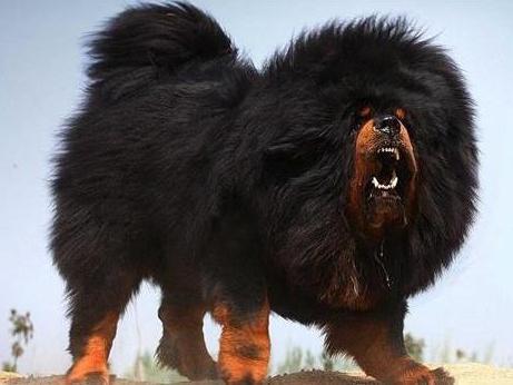 郴州苏仙黑狼犬哪里有卖