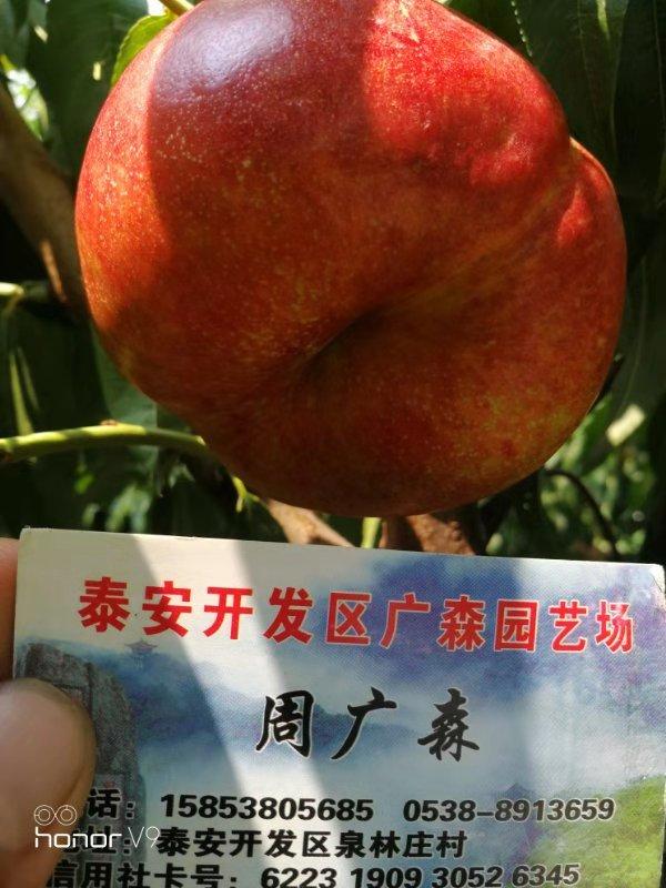 温州四号桃苗大规模种植基地