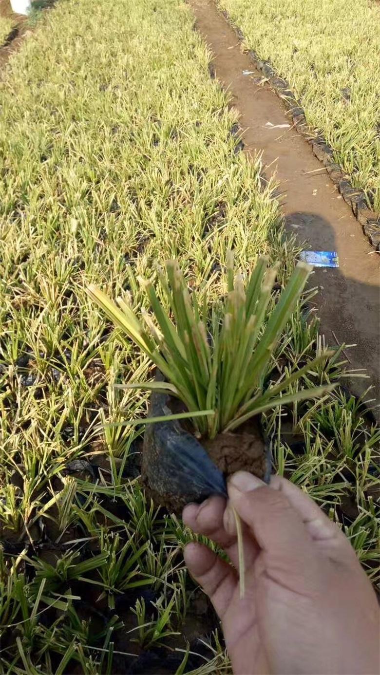 四川巴中地被鼠条草栽种基地