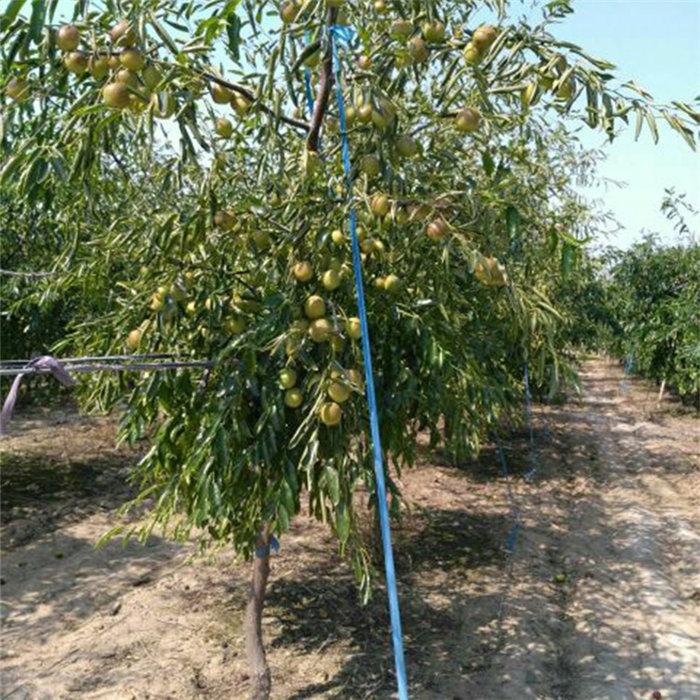 枣树苗一米以上好吃的冬枣树苗的价格@泰安区岳泰园艺场