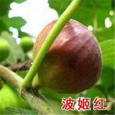 西府海棠叶部病害图片
