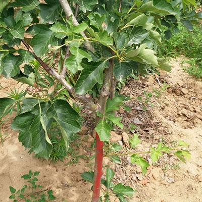 大五棱山楂树苗2018年一亩地栽是是多少棵