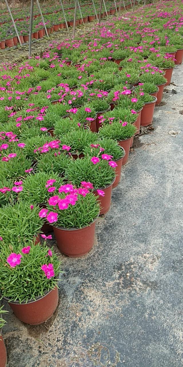 温州马鞭草营养钵苗服务热线